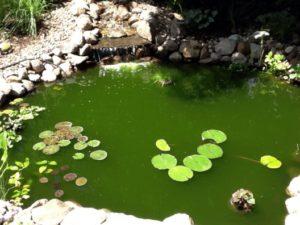 Een groene vijver helder maken · vijver.blog