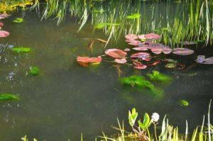 algen in de vijver: zweefalgen en draadalgen