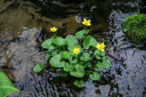onderhoud vijver maart - dotterbloem