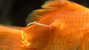 infectie vissen vijver