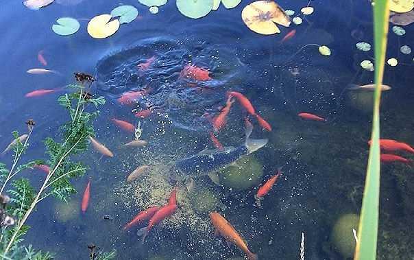 Vissen In Vijver : Vissterfte in de vijver voorkomen vissen gezond houden vijver.blog