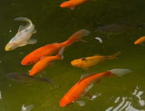 Vissen In Vijver : Vissterfte in de vijver voorkomen vissen gezond houden vijver