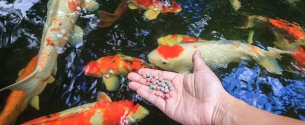 Vissen voeren vijver